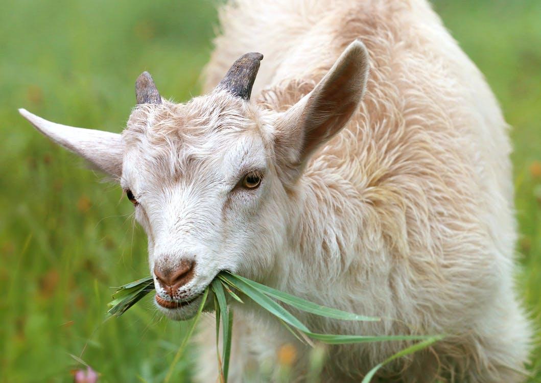 Белая коза ест траву в дневное время