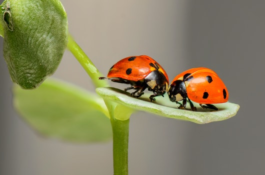 2 Lady Bug on Green Leaf