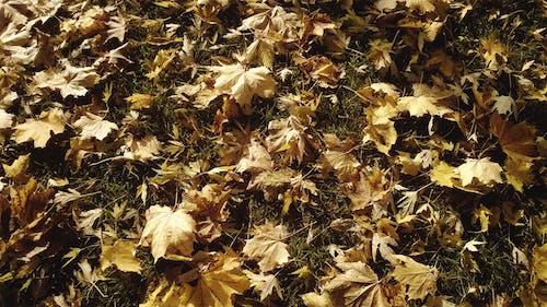 Free stock photo of maple, maple leaves, sun