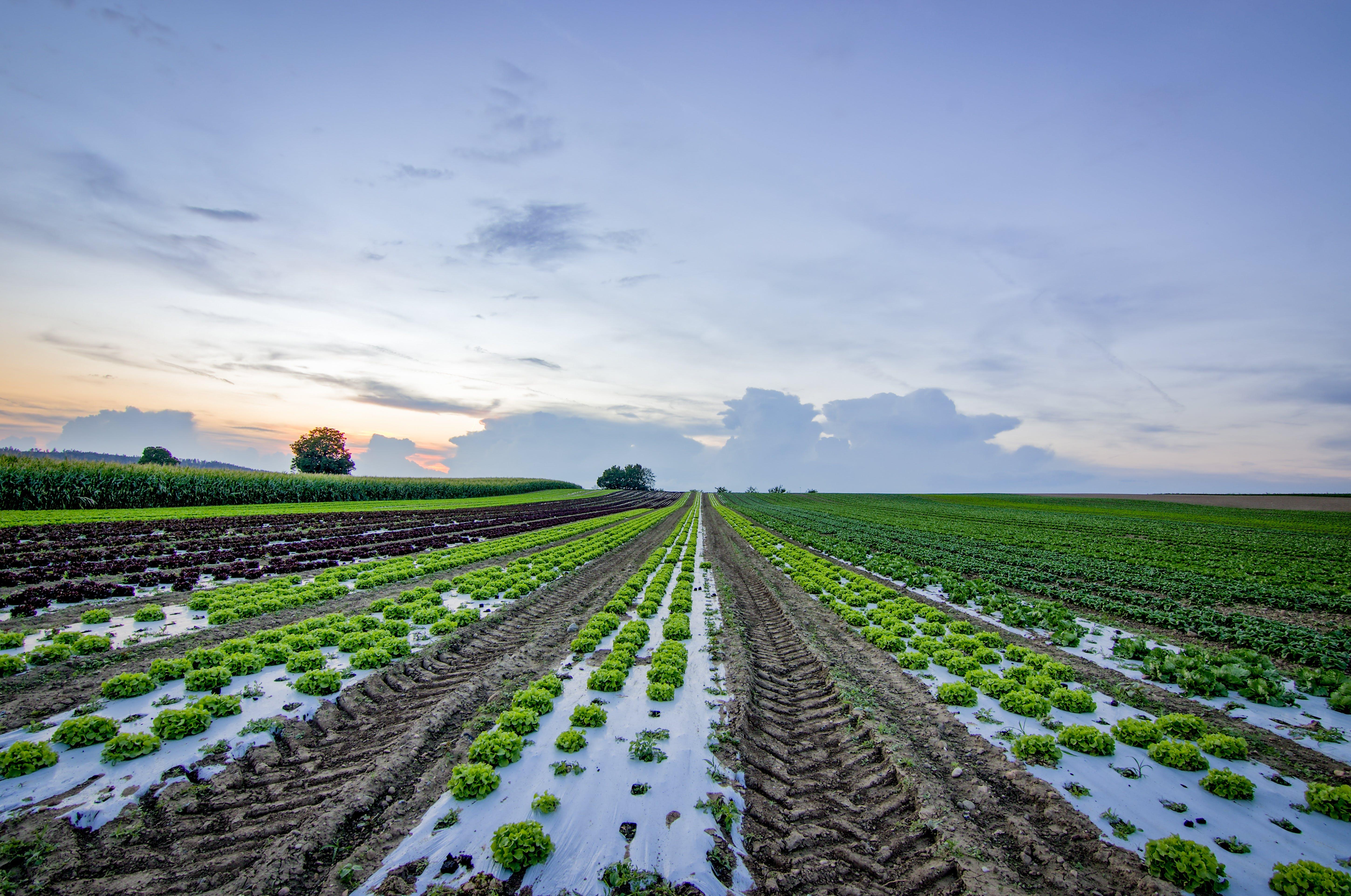Lettuce Field Near Cornfield