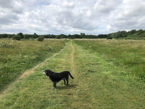 köpek, pelin çalılıkları, siyah labrador içeren Ücretsiz stok fotoğraf