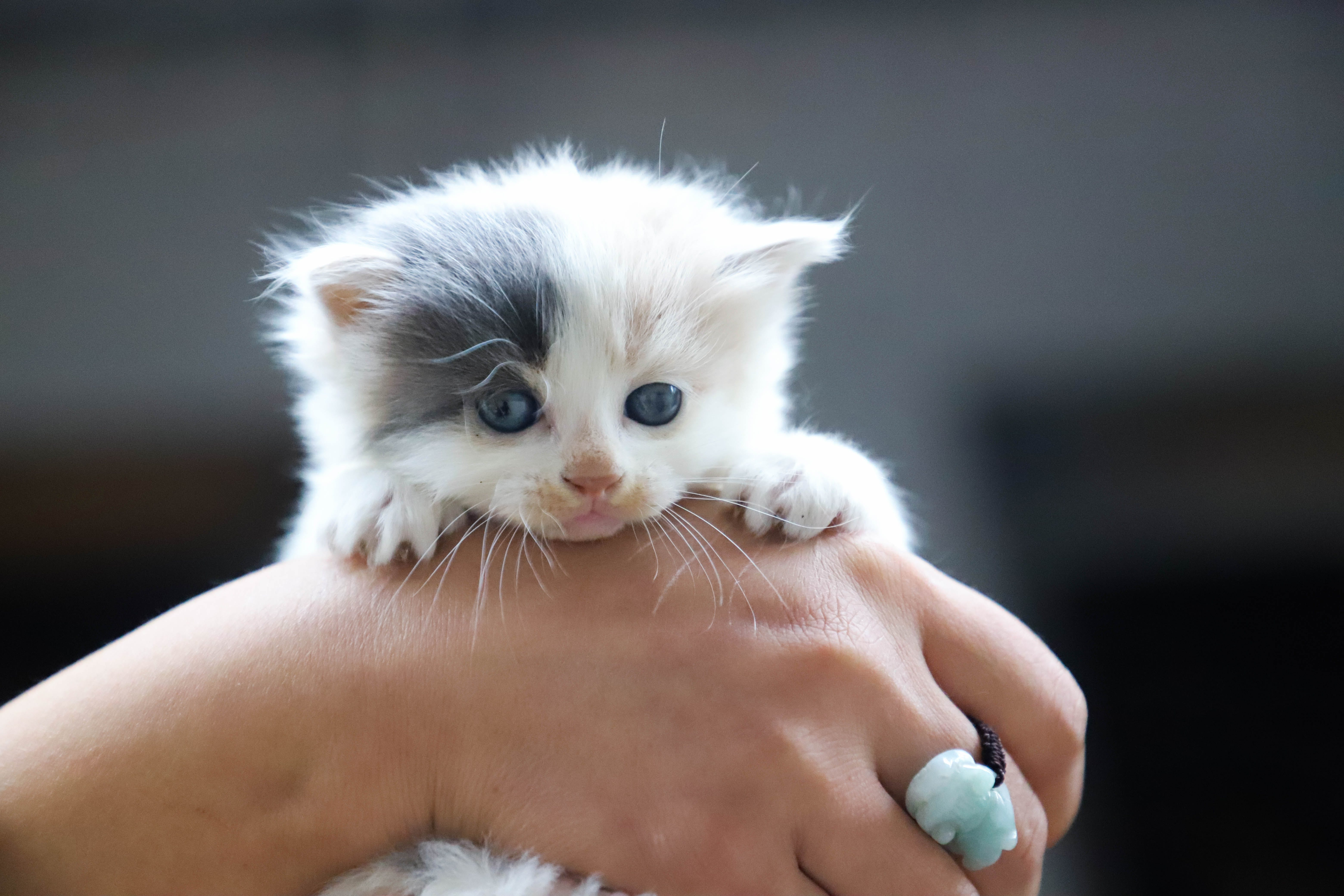 Close-Up Photo of Person Holding White Kitten