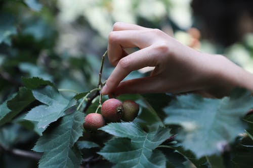 Close-Up Photo of Person Picking Red Fruit