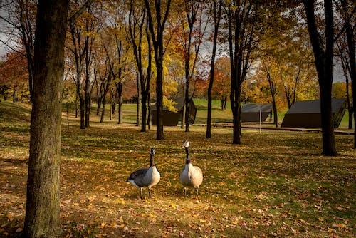 Free stock photo of goose, orange, park