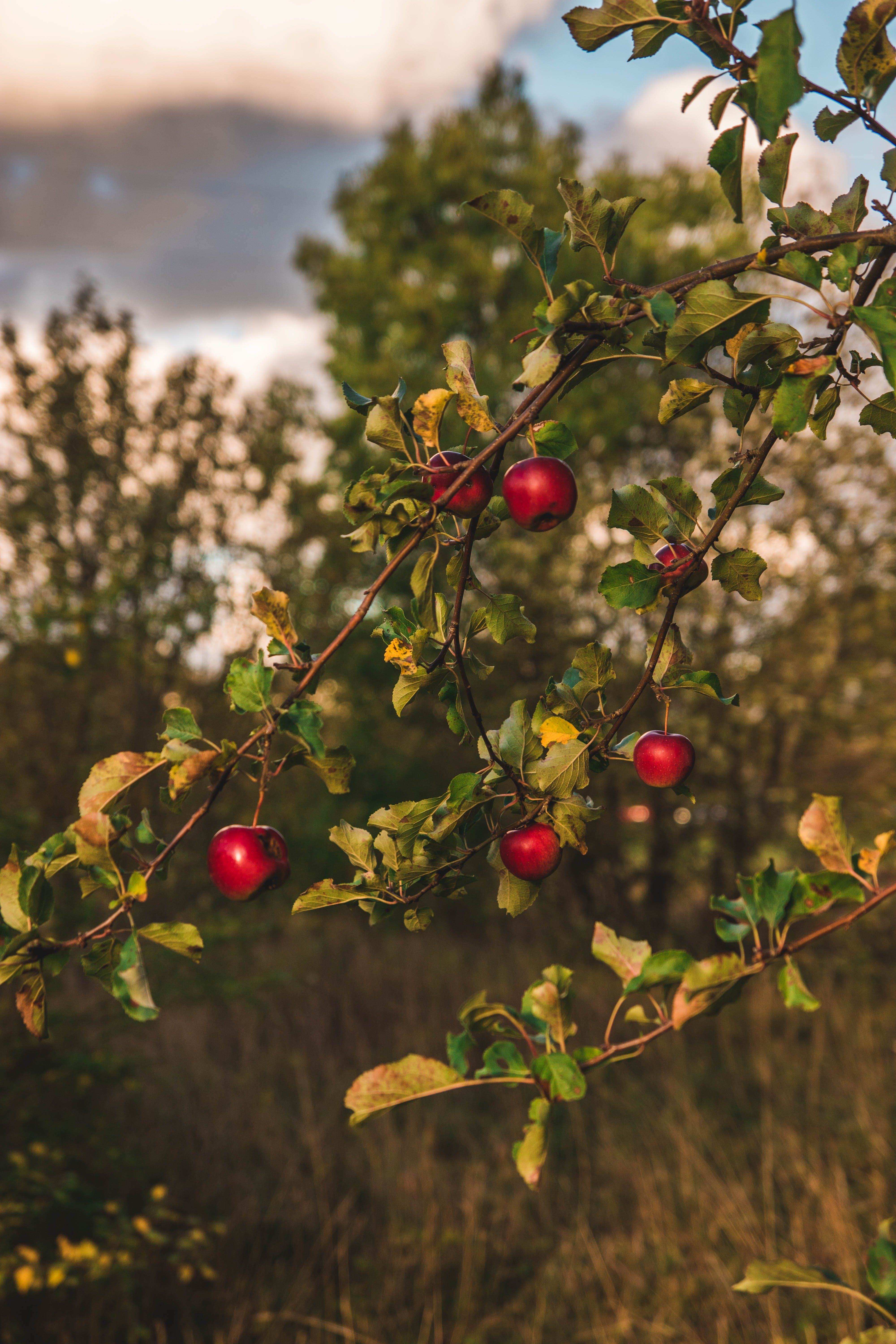 Close-up Photography of Apple Tree