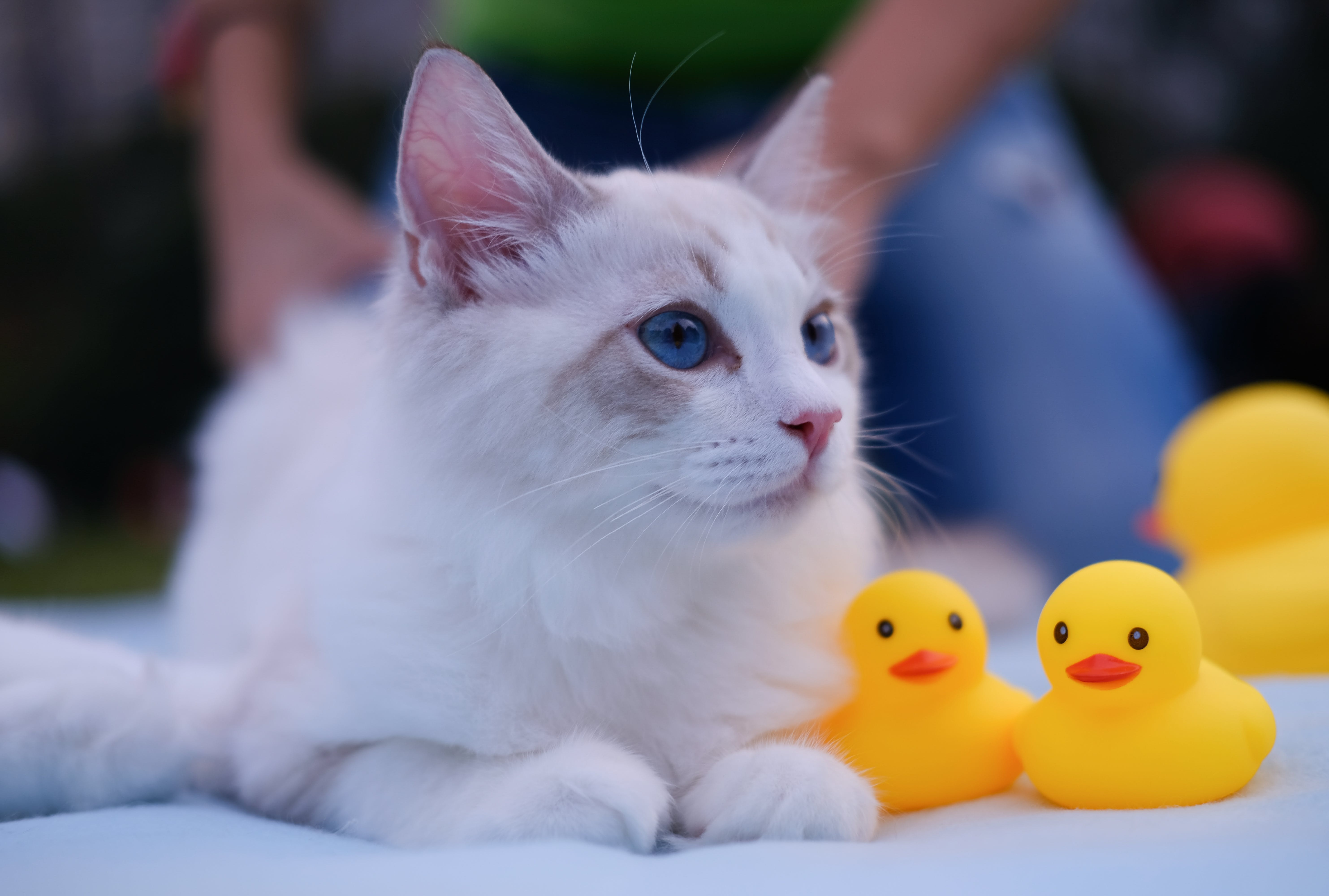 Close-Up Photo of Cat Near Yellow Rubber Ducklings