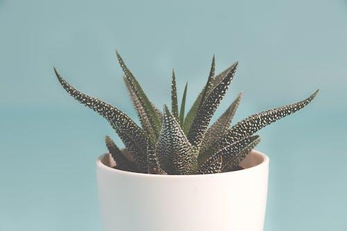 Foto d'estoc gratuïta de afilat, blau, botànic, cactus