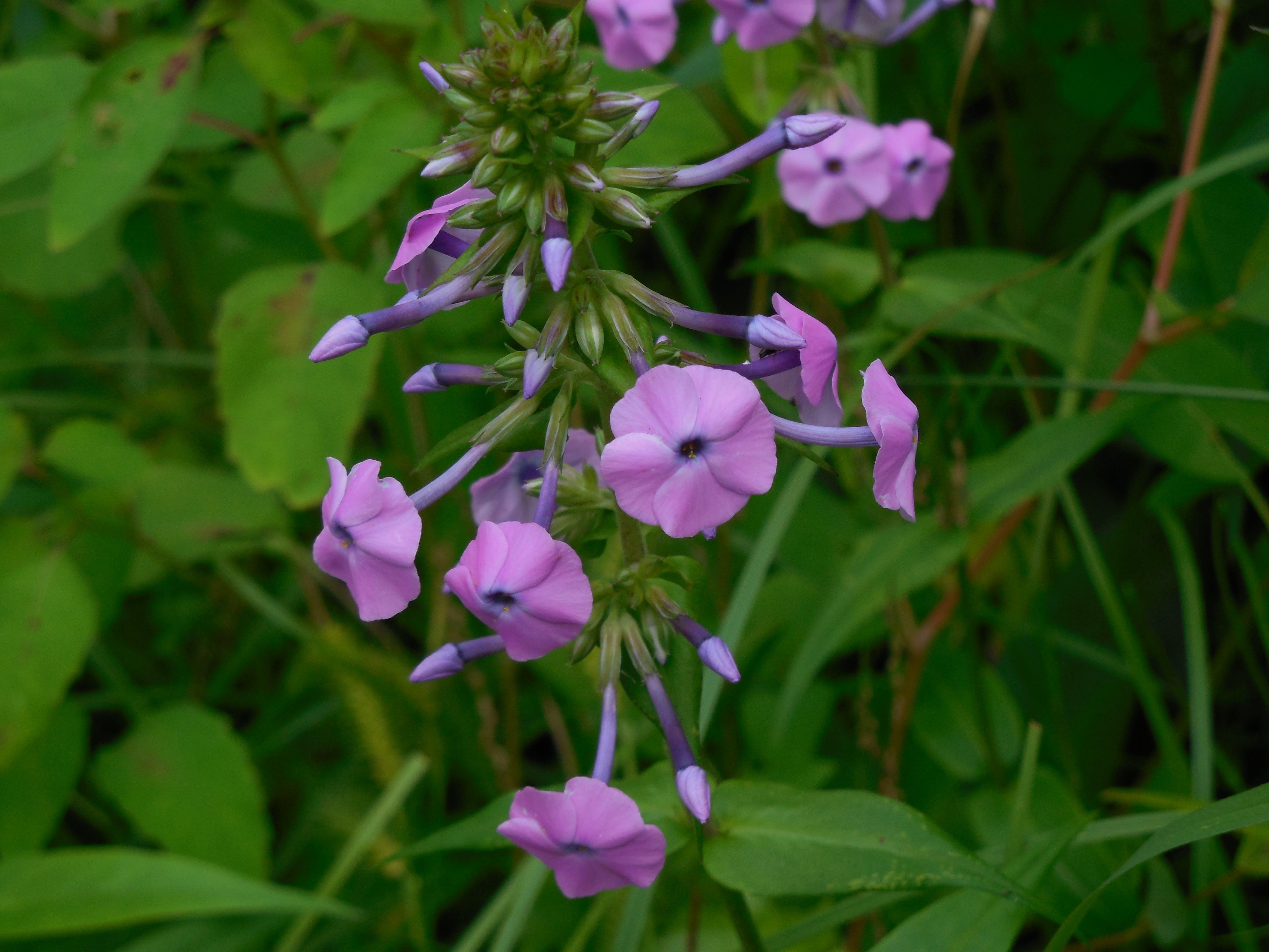 Free stock photo of flower, green, nature, purple