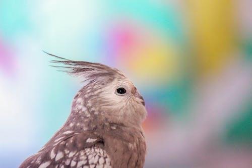 Fotobanka sbezplatnými fotkami na tému calopsita, šedý vták