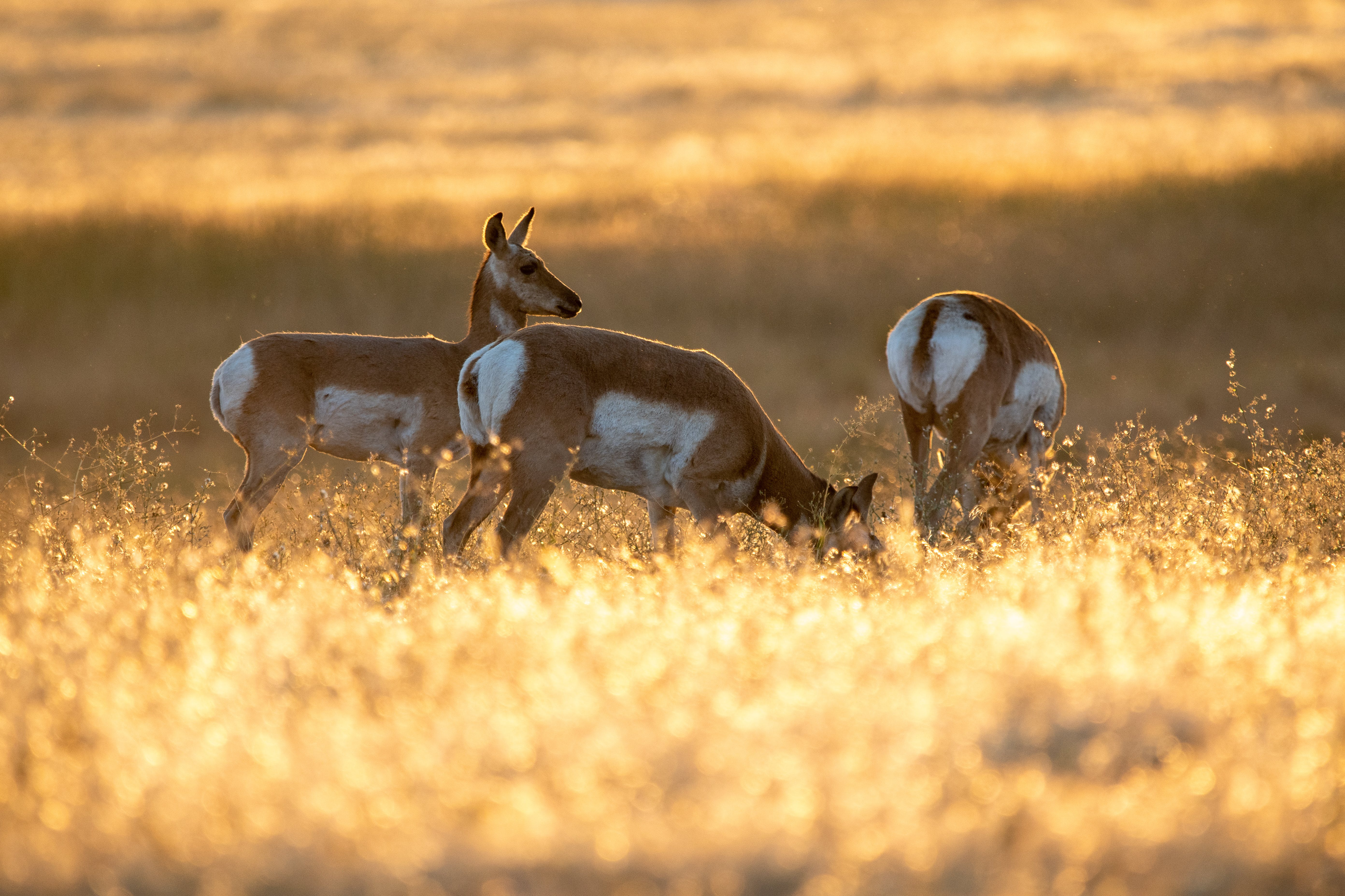 Three Brown-and-white Deer Grazing on Field