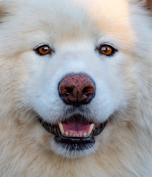Close-Up Photo of  White Samoyed