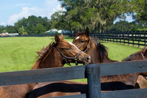 Ingyenes stockfotó állatok, barna, farm, fű témában