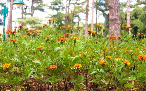 Free stock photo of Baguio, Benguet, flower, flowers