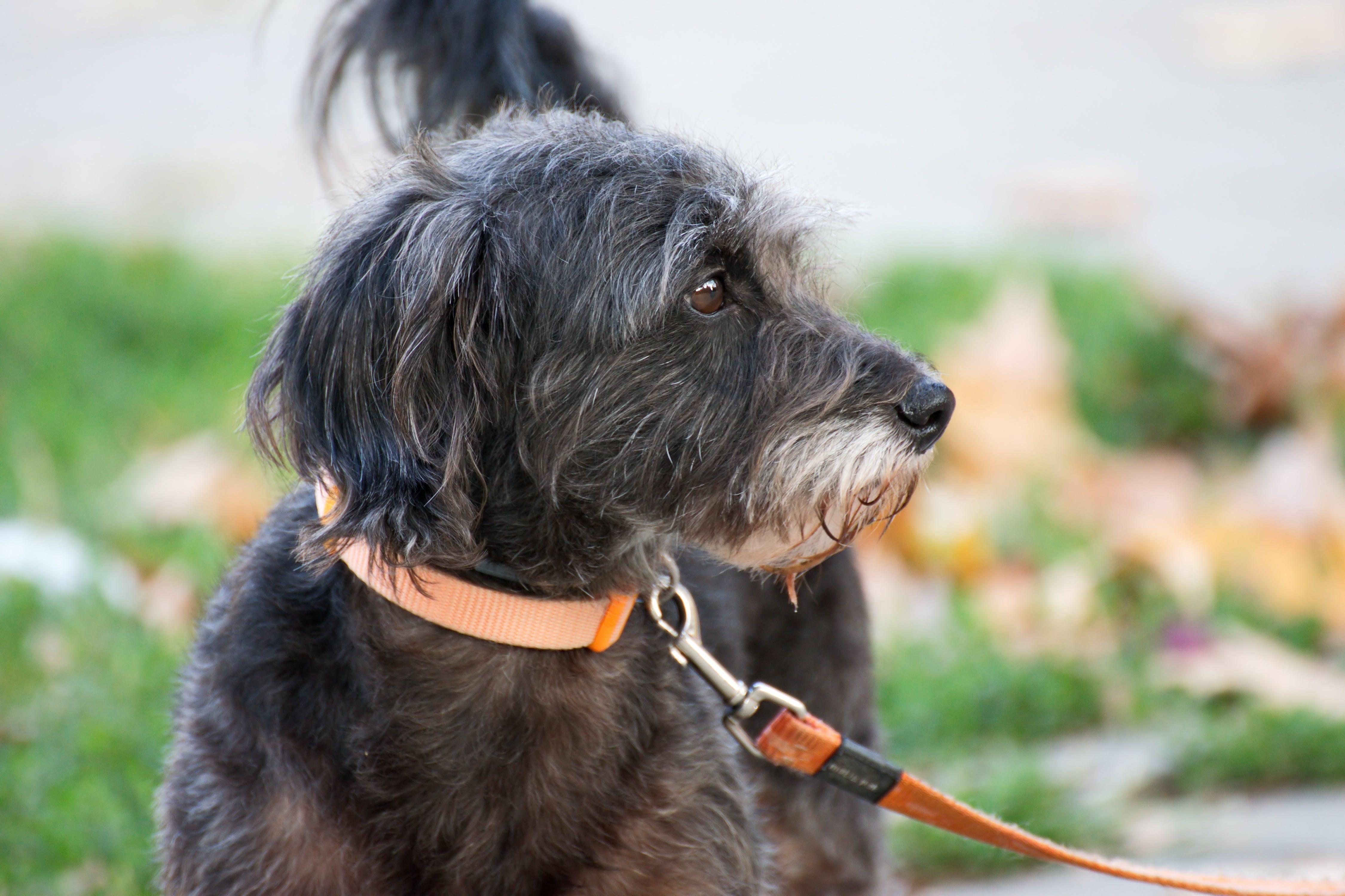Black Dog Close-up Photography