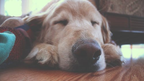 Brown Dog Sleeping on Brown Wooden Surface