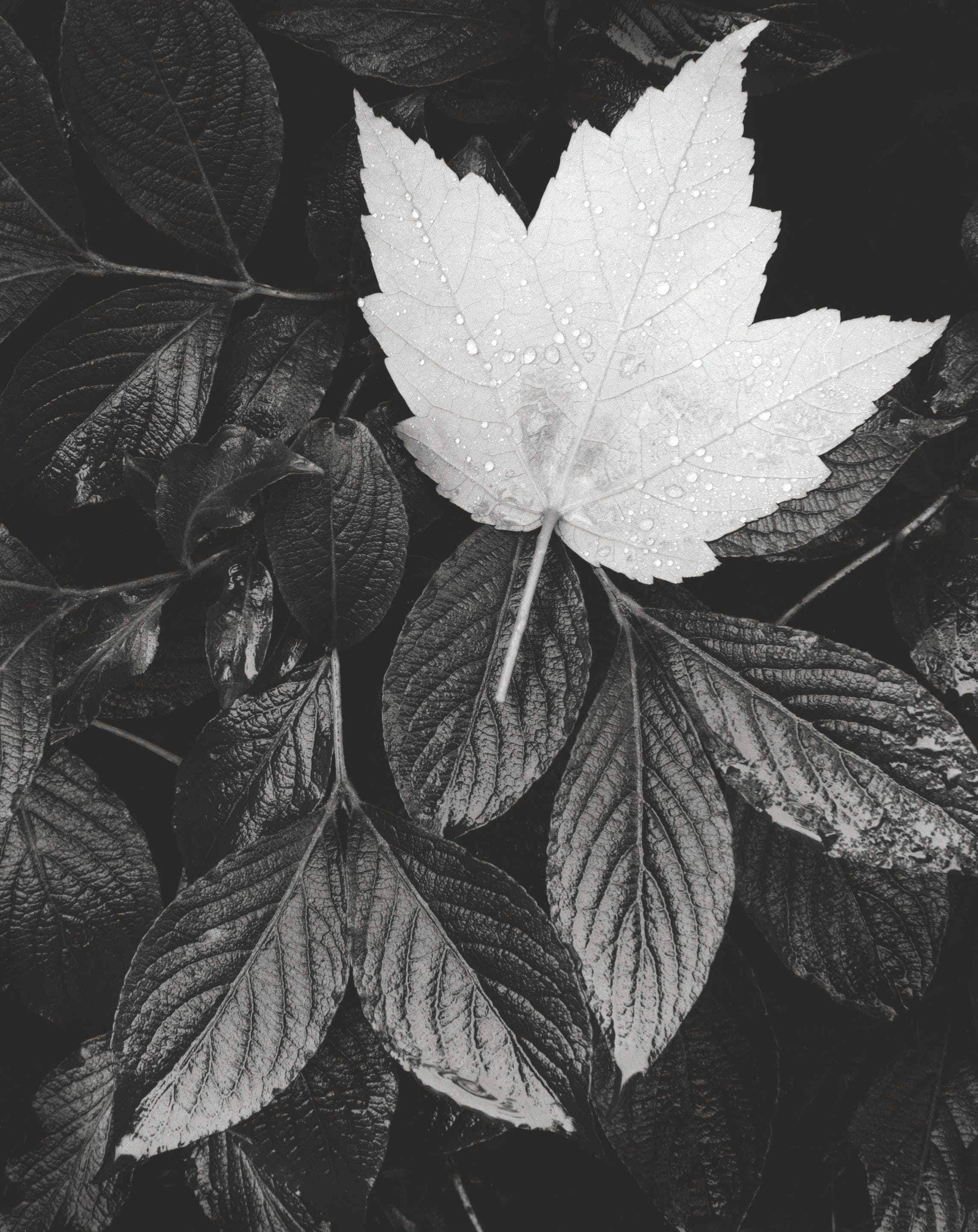 Grayscale Photo of Maple Leaf