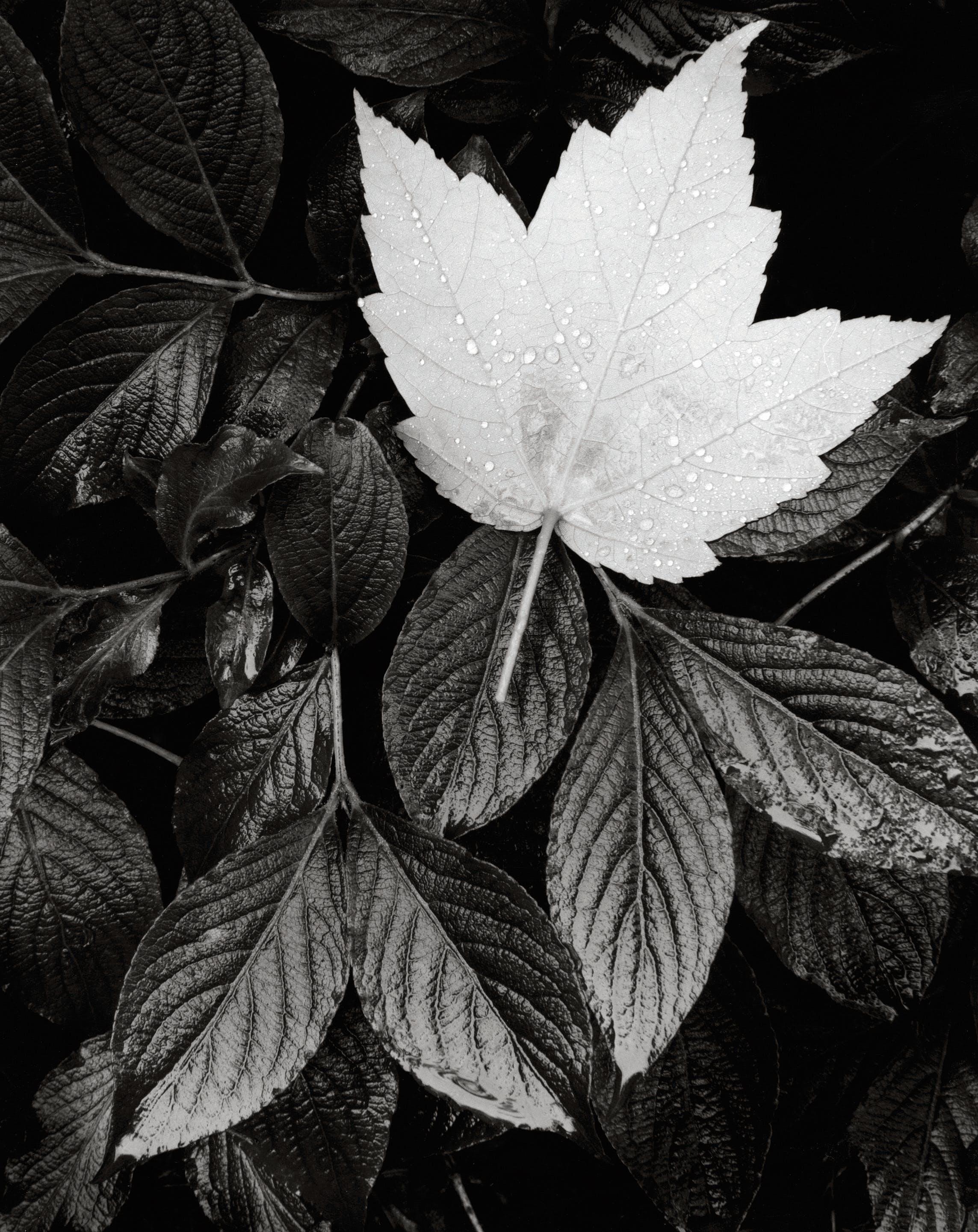 Kostenloses Stock Foto zu ahornblatt, ast, baum, farbe
