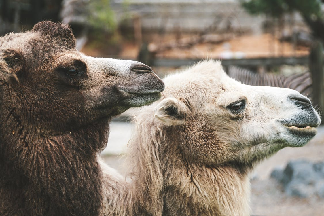 Arabisk kamel, close-up, dagslys