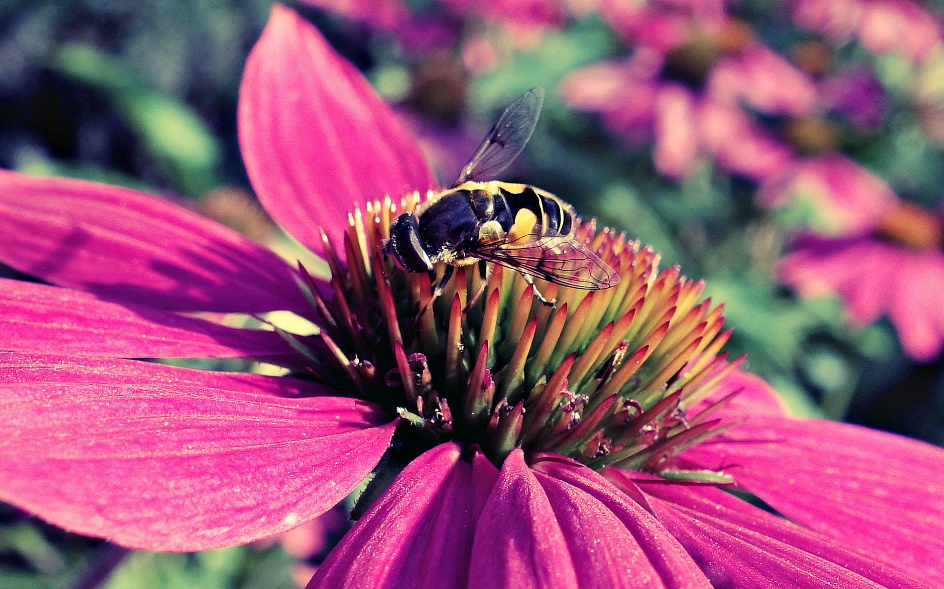 of bee, echinacea, flower, petal