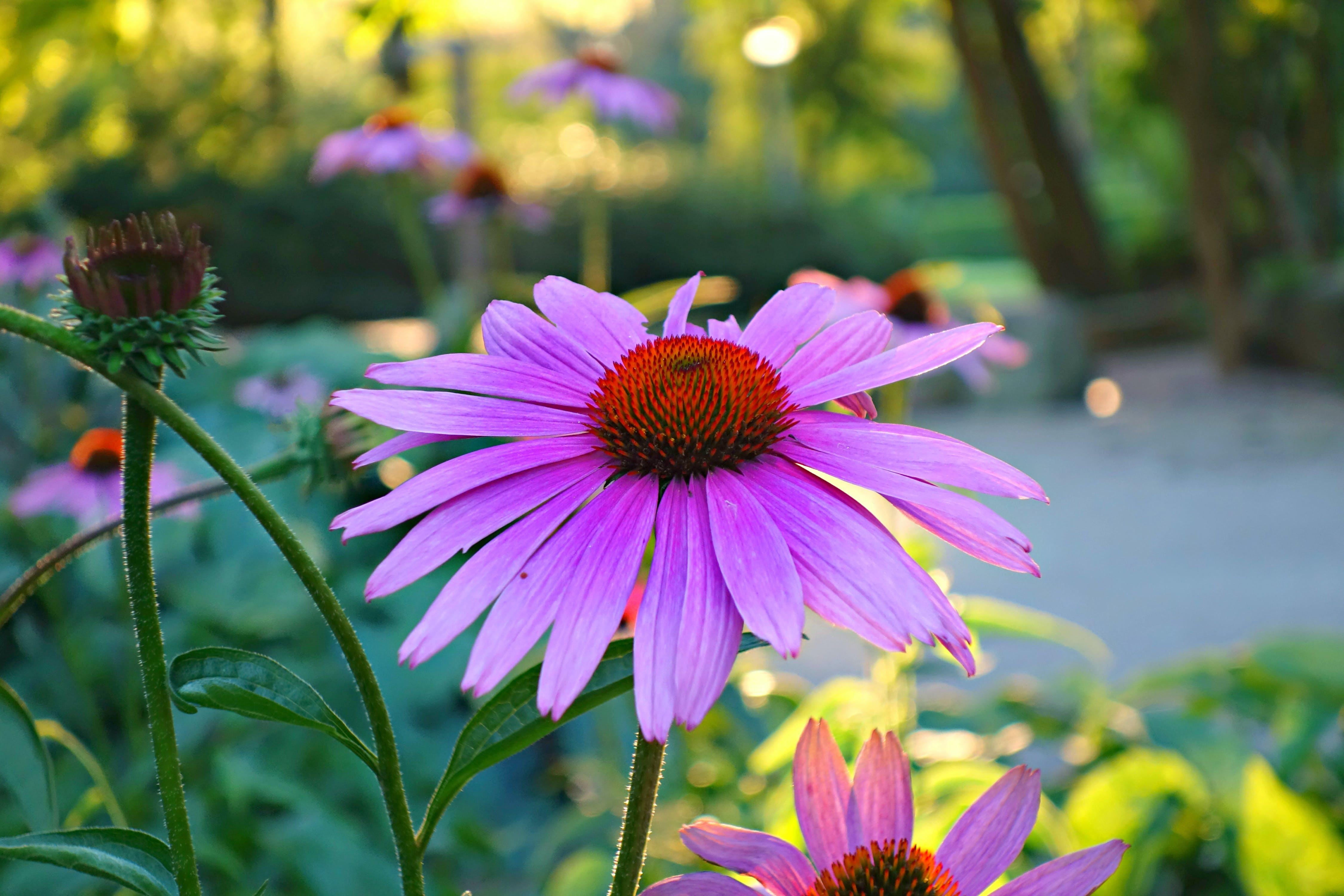 of backlight, blossom, echinacea, flower