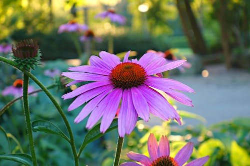 Free stock photo of backlight, blossom, echinacea, flower