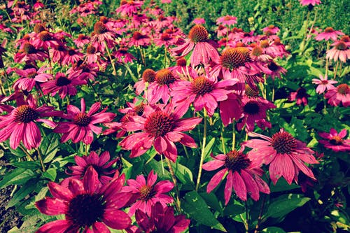 Free stock photo of bed, echinacea, flower, flowerbed