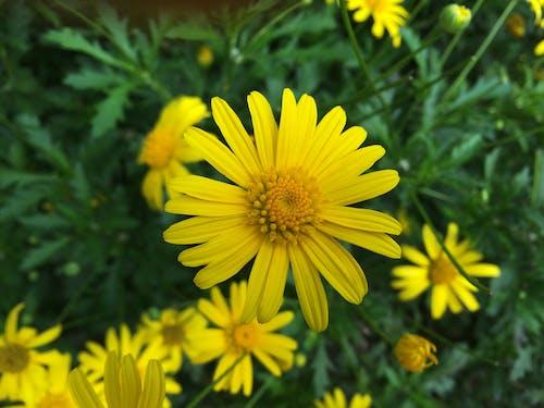 çiçek Açan Sarı Dandelions