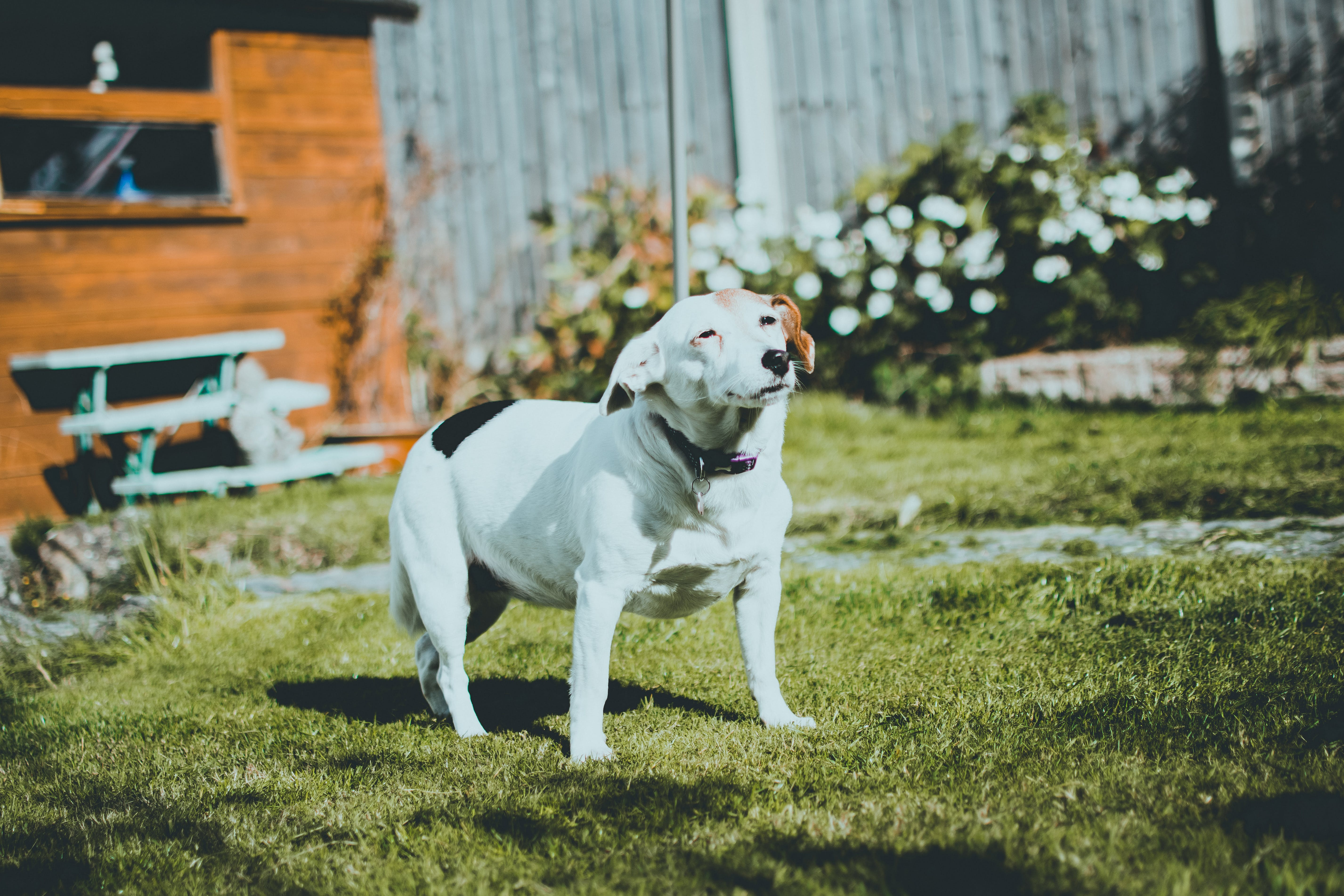 Dog Standing on Lawn Grass