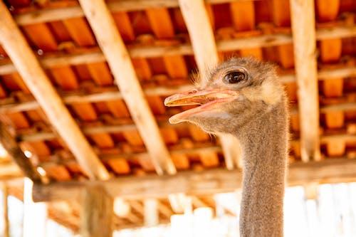คลังภาพถ่ายฟรี ของ นกกระจอกเทศ, ภาพถ่ายส่วนหัว, สัตว์