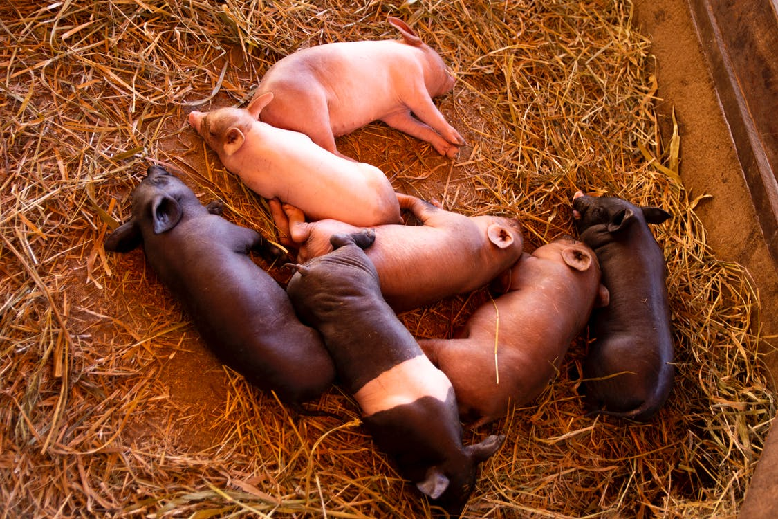 คลังภาพถ่ายฟรี ของ ทารก, ฝูงสัตว์, ลูกหมู