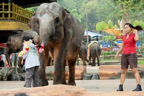 Kostenloses Stock Foto zu elefanten, junges mädchen, kind, lehrer