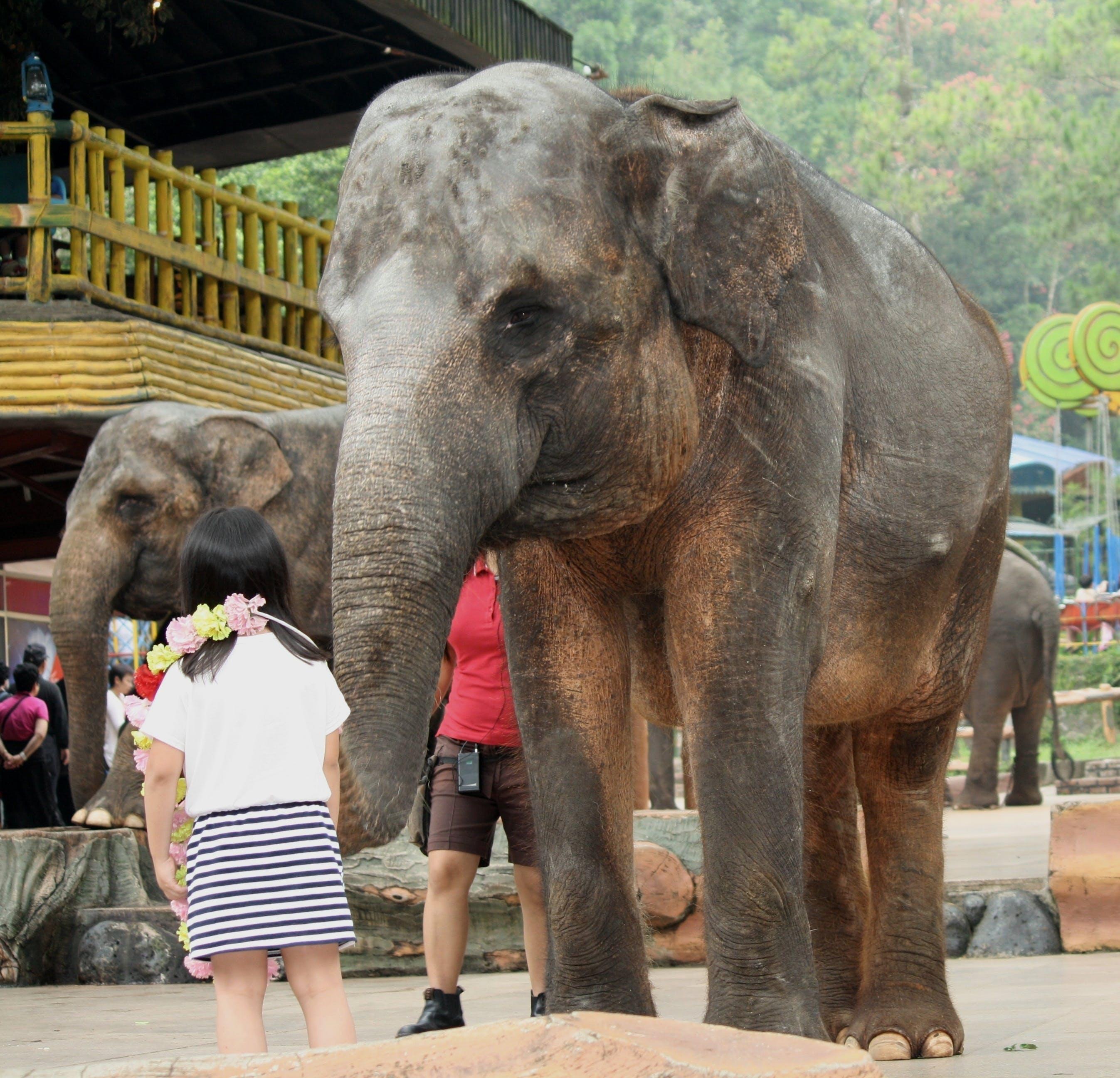 Foto d'estoc gratuïta de elefants, instructor, nen