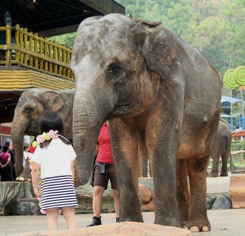 Kostenloses Stock Foto zu elefanten, kind, lehrer