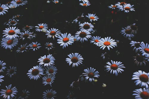Portrait Photo of Daisy Flowers