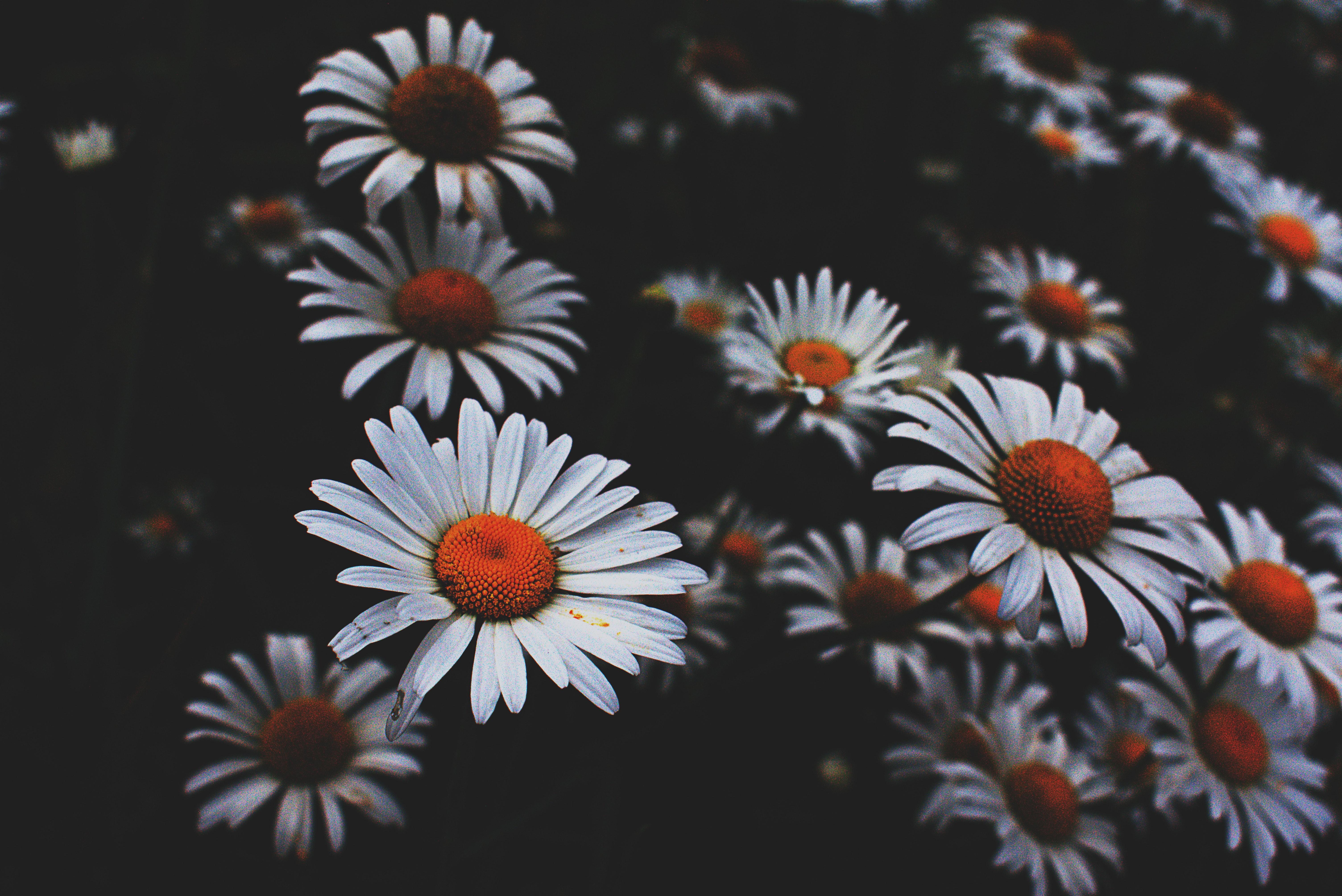 Tilt Lens Photography Of Daisy Flower Free Stock Photo