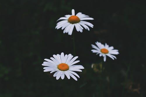 カモミール, フラワーズ, フローラ, 咲くの無料の写真素材