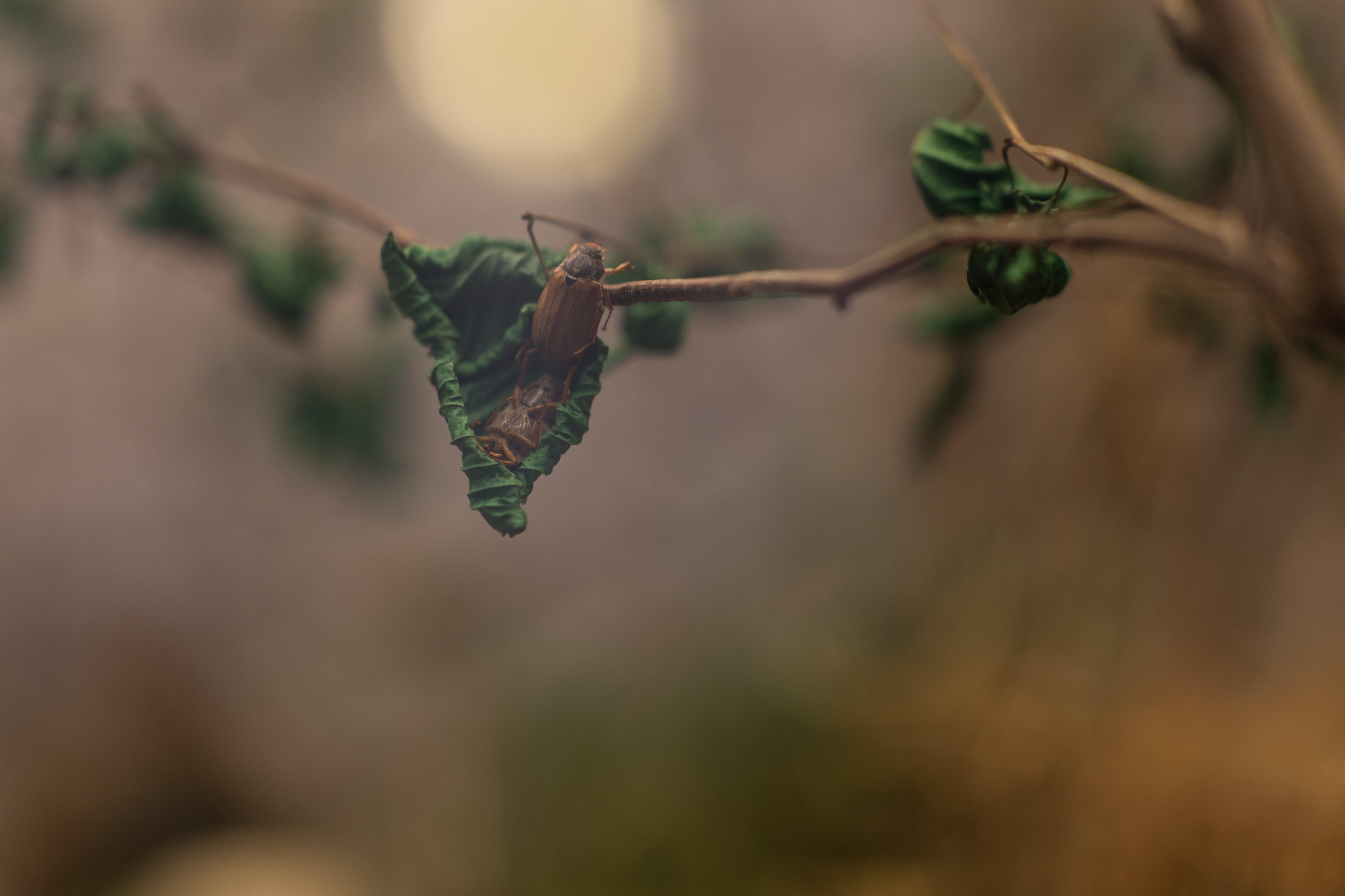 Two Brown Beetles on Leaves