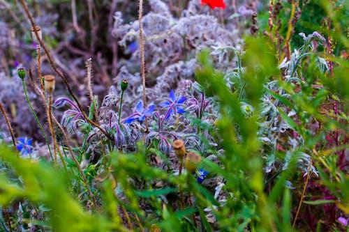 คลังภาพถ่ายฟรี ของ การถ่ายภาพธรรมชาติ, ชีวิตธรรมชาติ, ดอกไม้สีฟ้า, พืช
