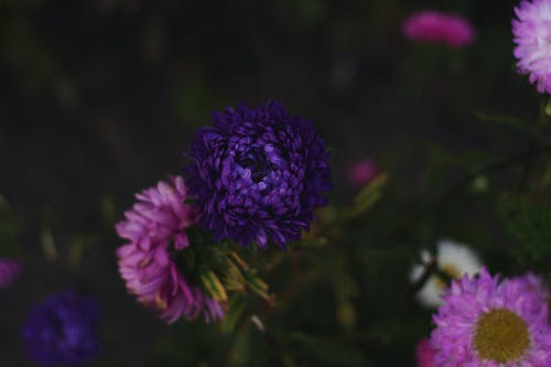 Selective Focus Photography of Pink and Purple Petaled Flowers