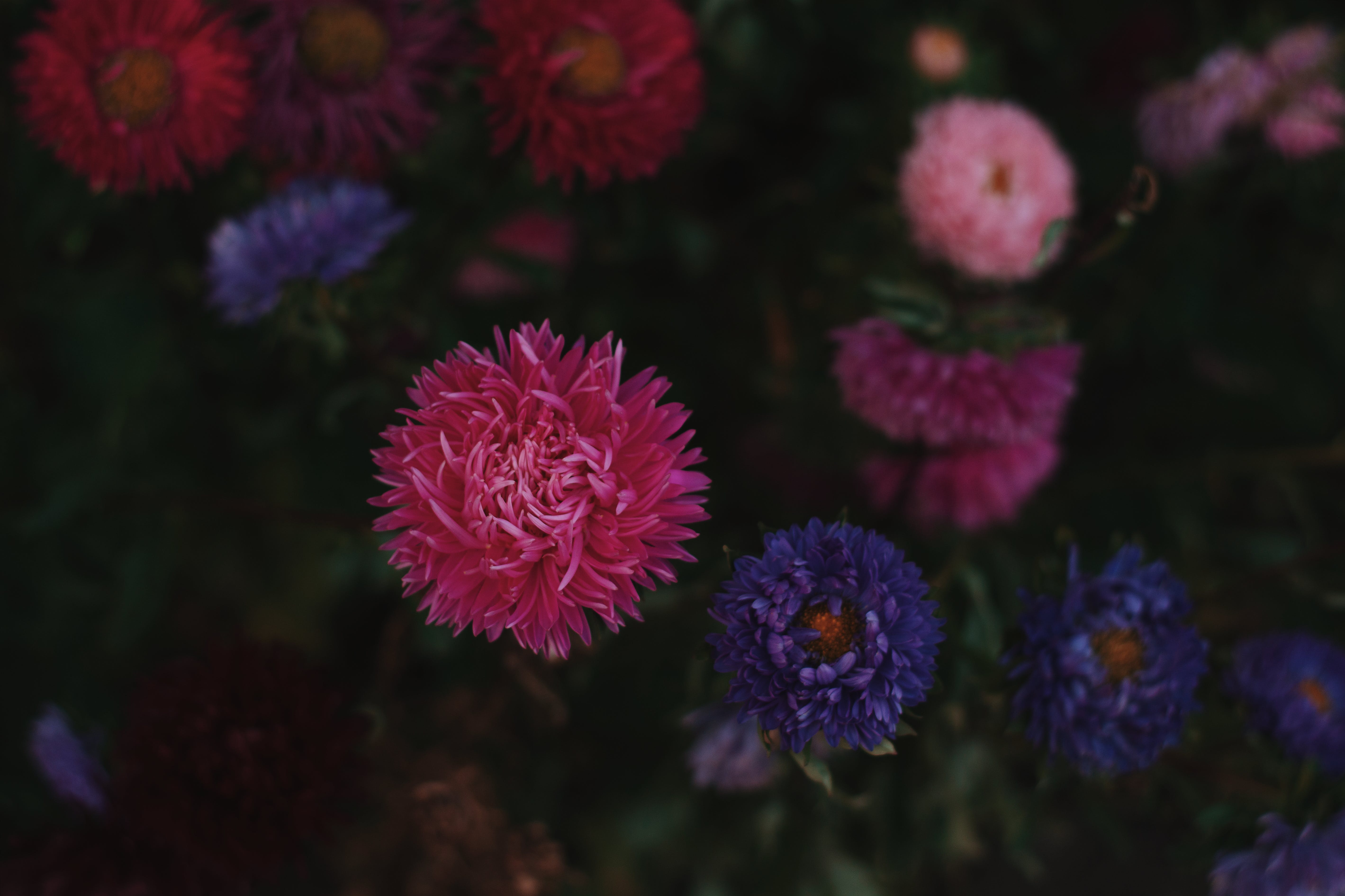 Pink, Purple, and White Petaled Flowers in Bloom