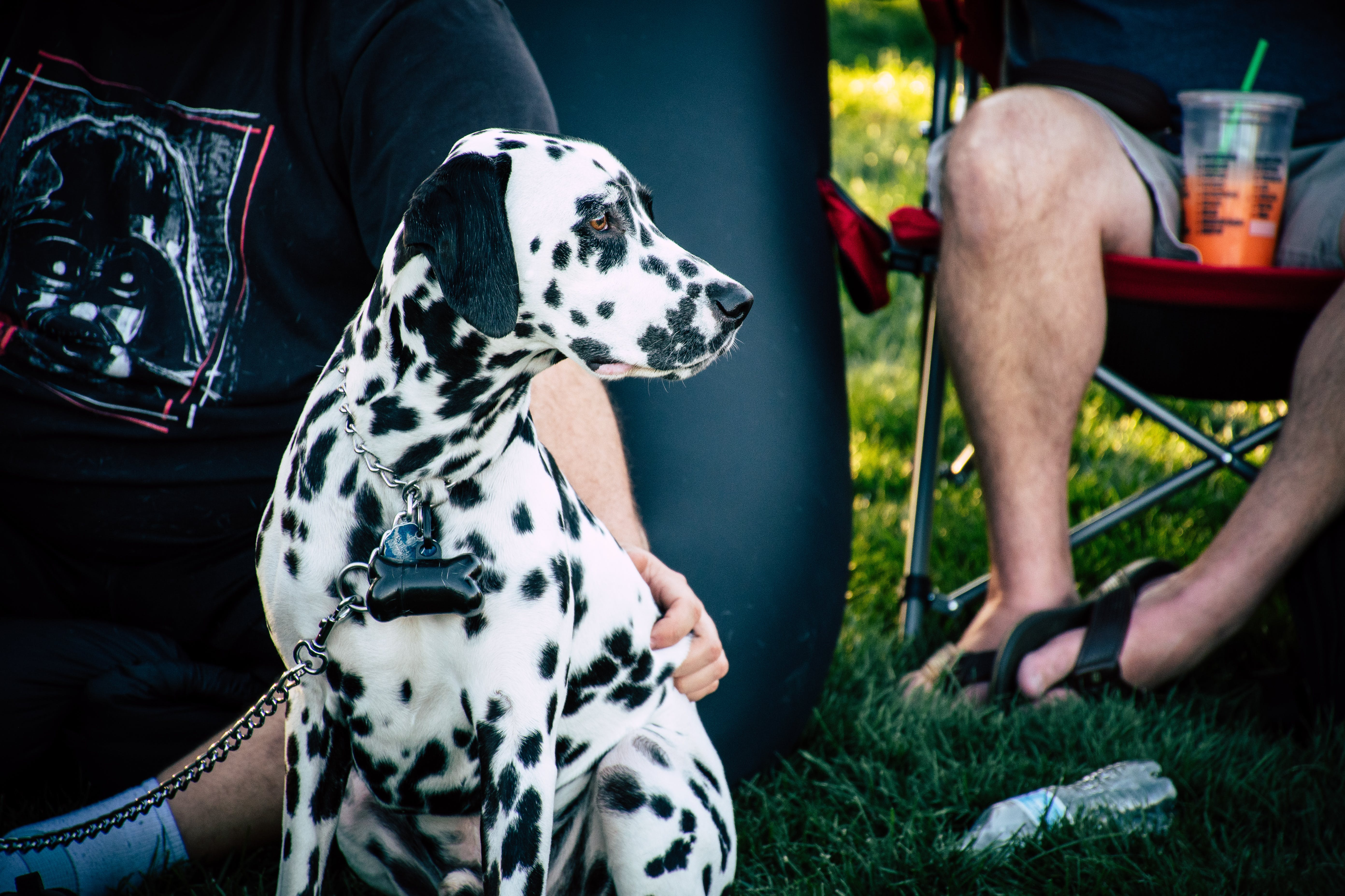 Adult White and Black Dalmatian Near Person Sitting on Chair