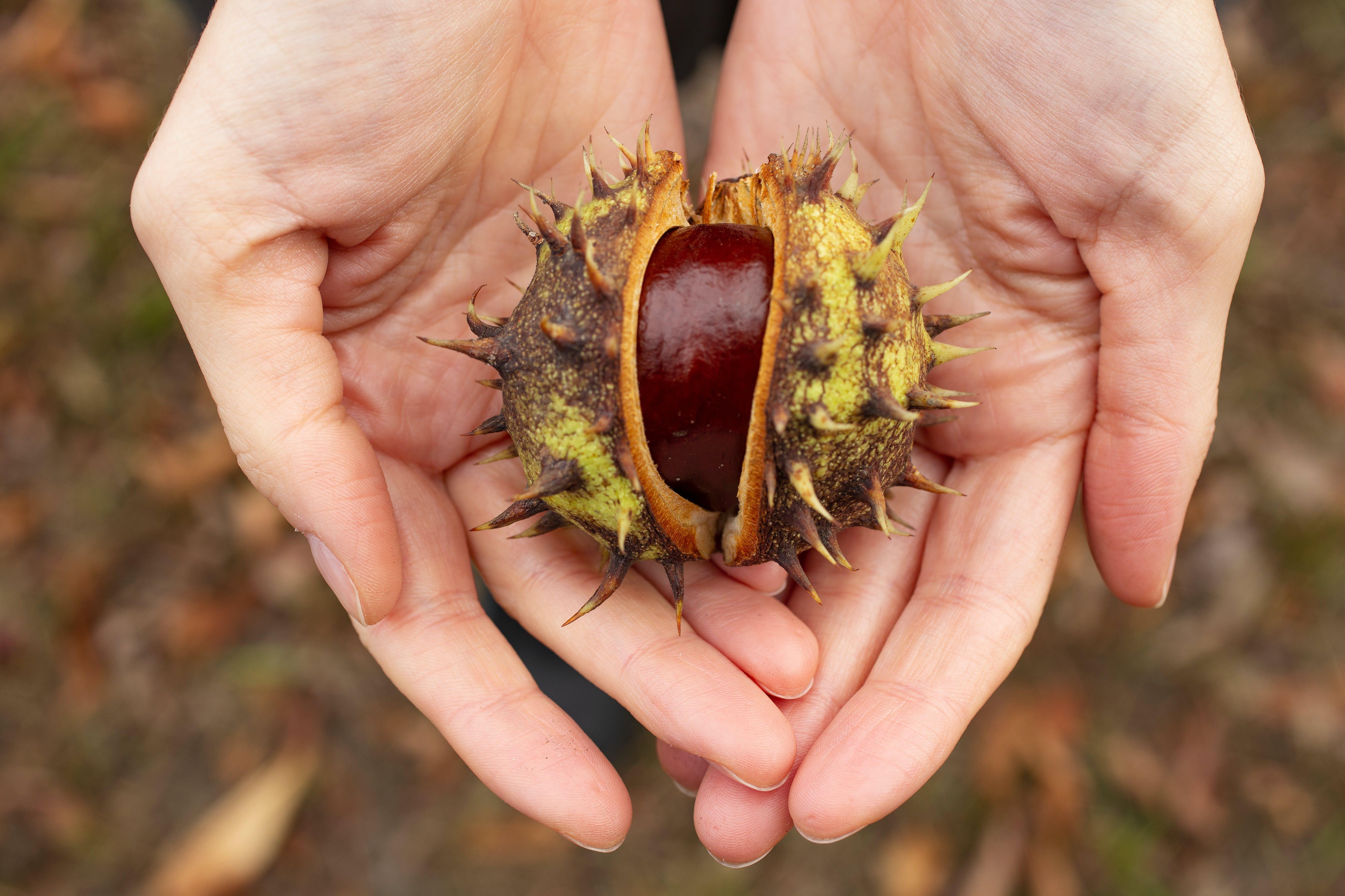 Person Holding Fresh Chestnut