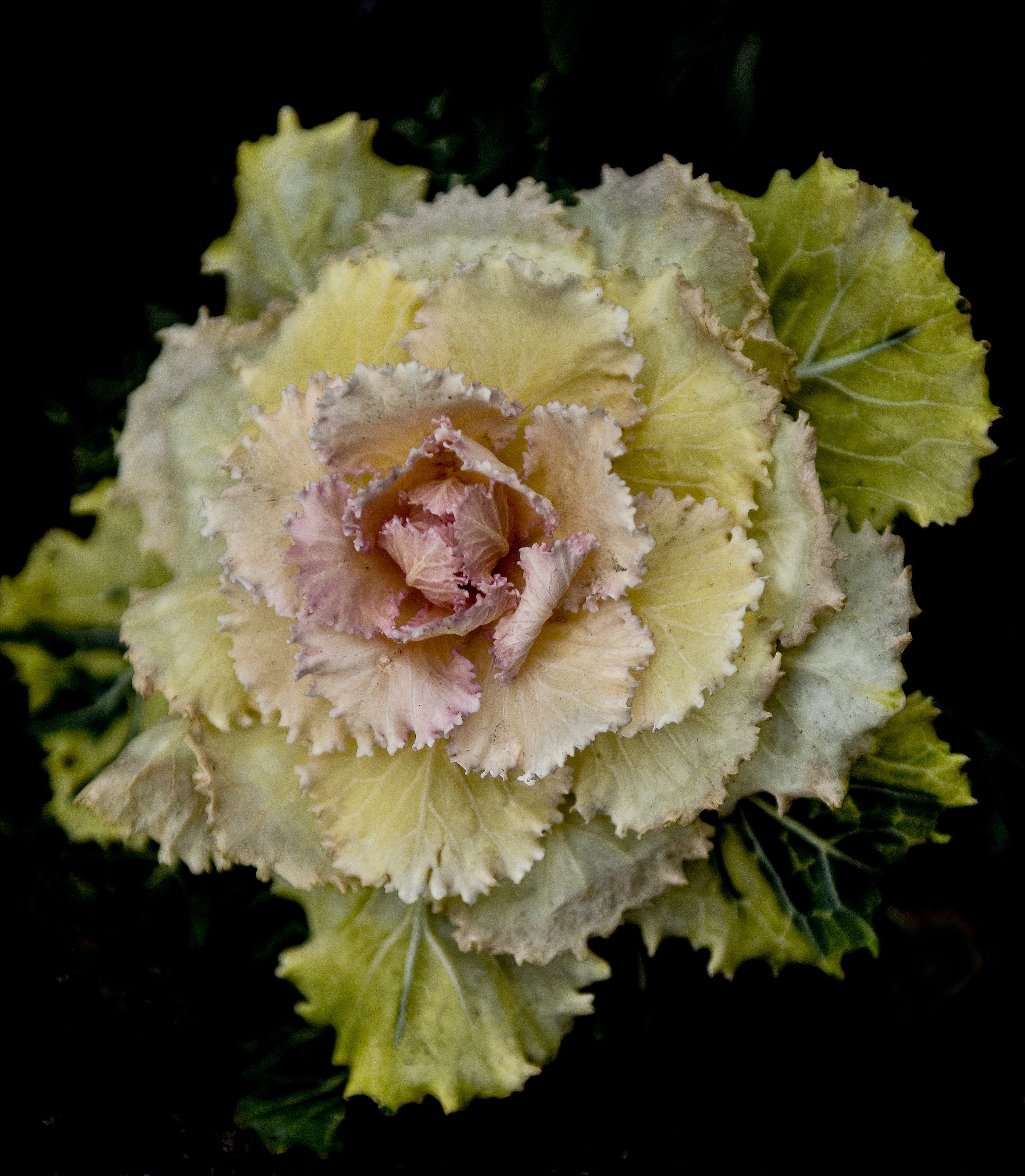 Selective Focus Photography of Yellow and Pink Flowering Cabbage
