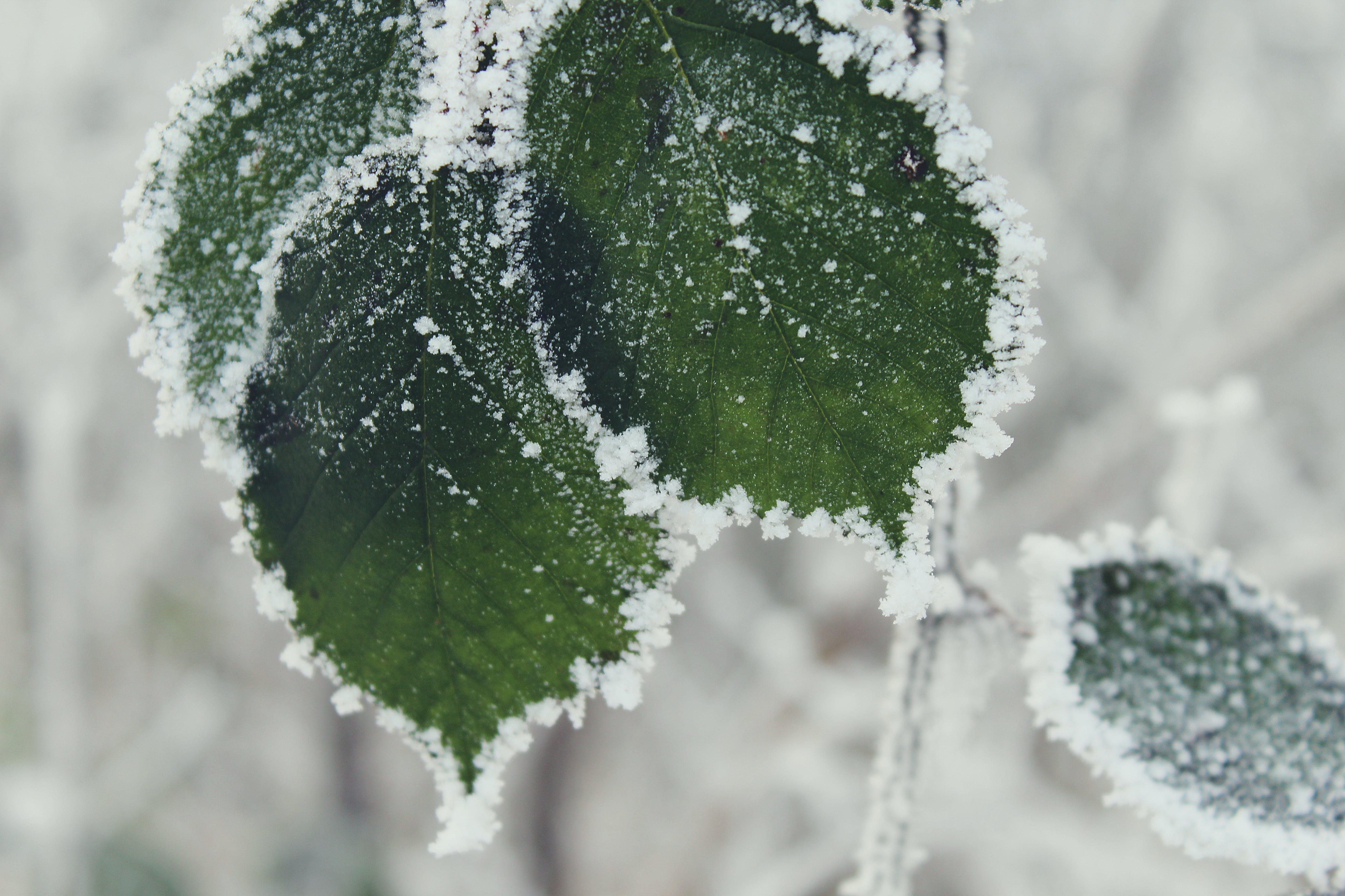 frost, gefroren, grün