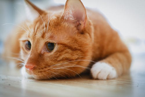 Orange Tabby Cat Lying on Floor