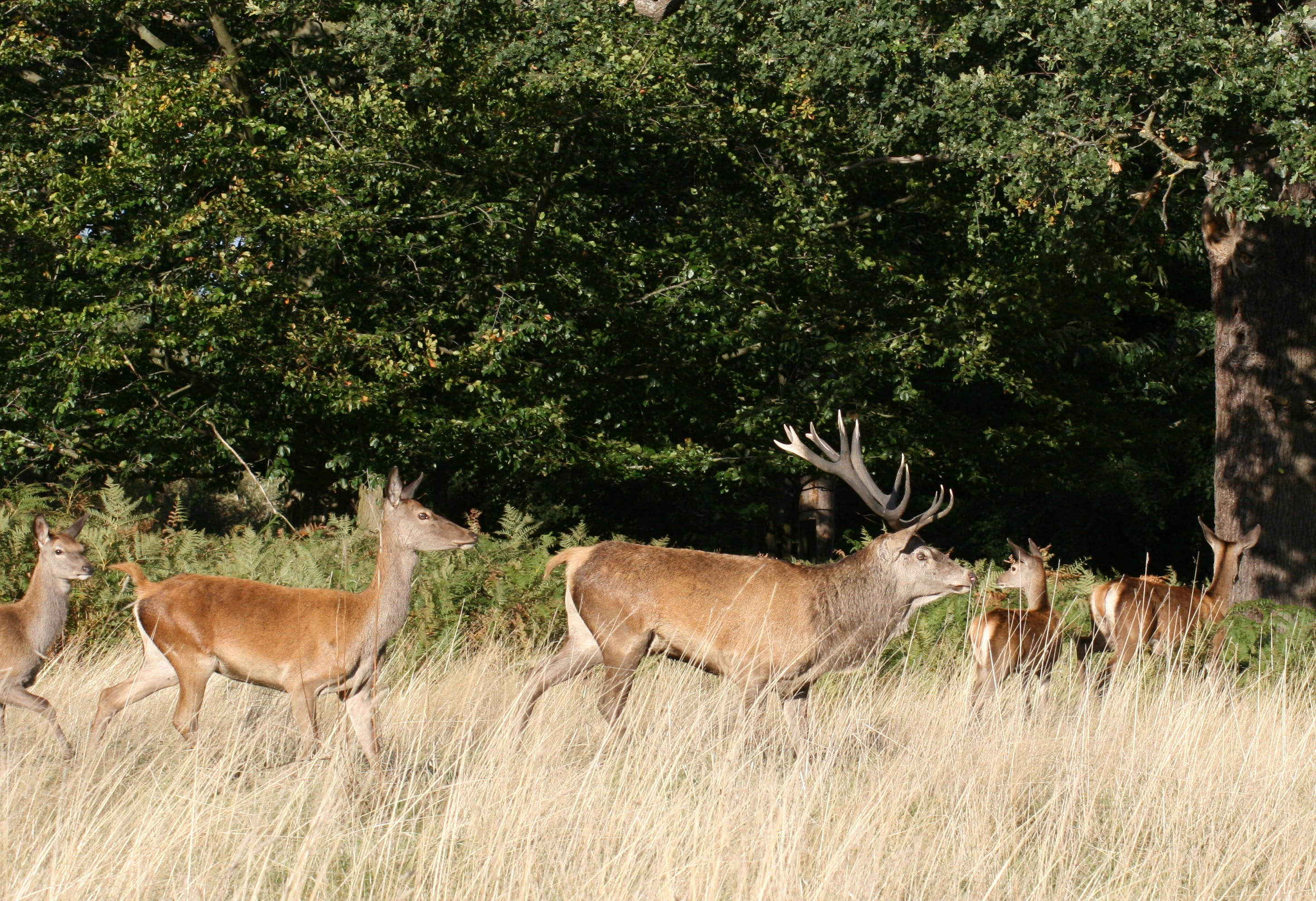 Free stock photo of deer, stag, Stag and doe