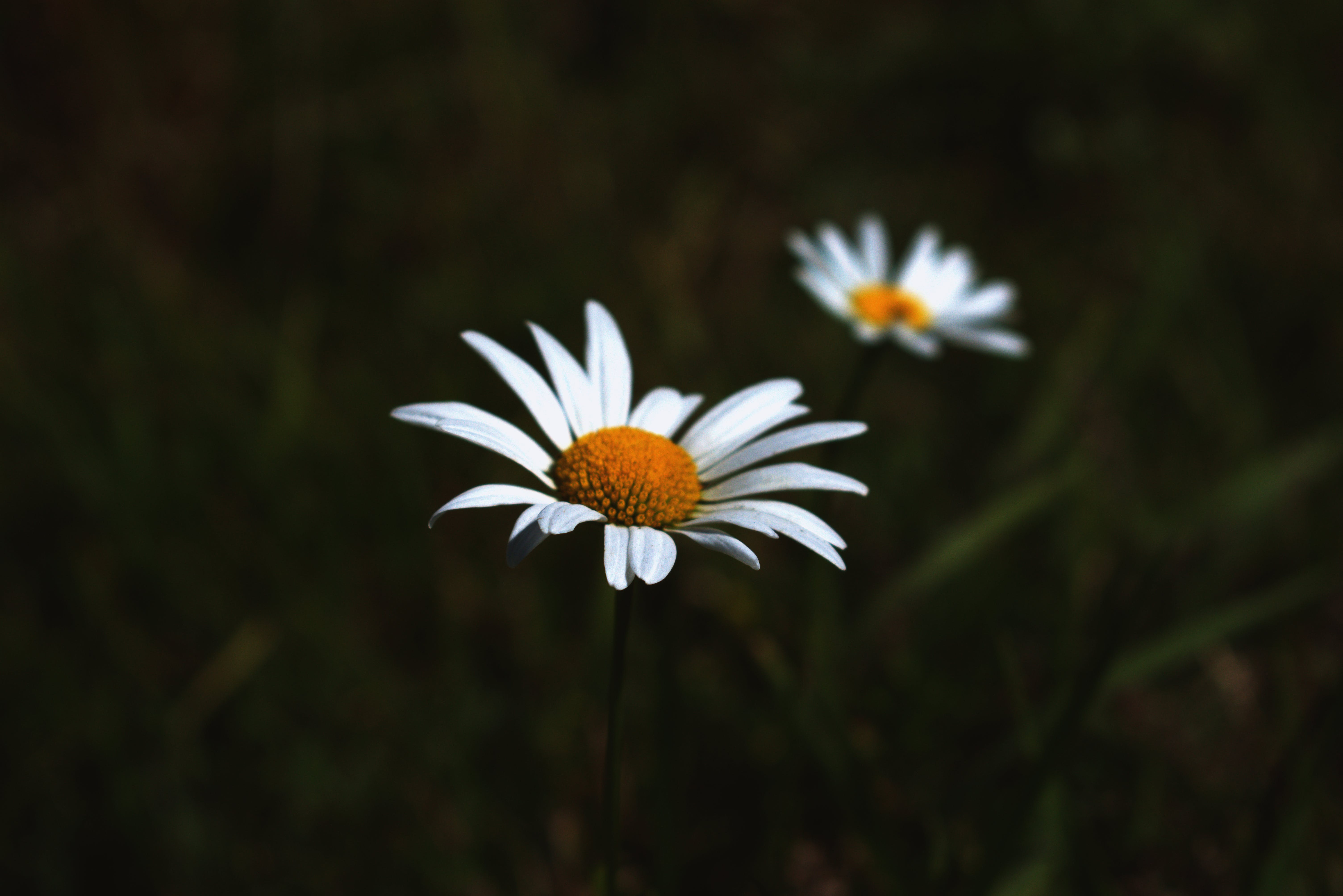 Close-up Photo of White Daisies