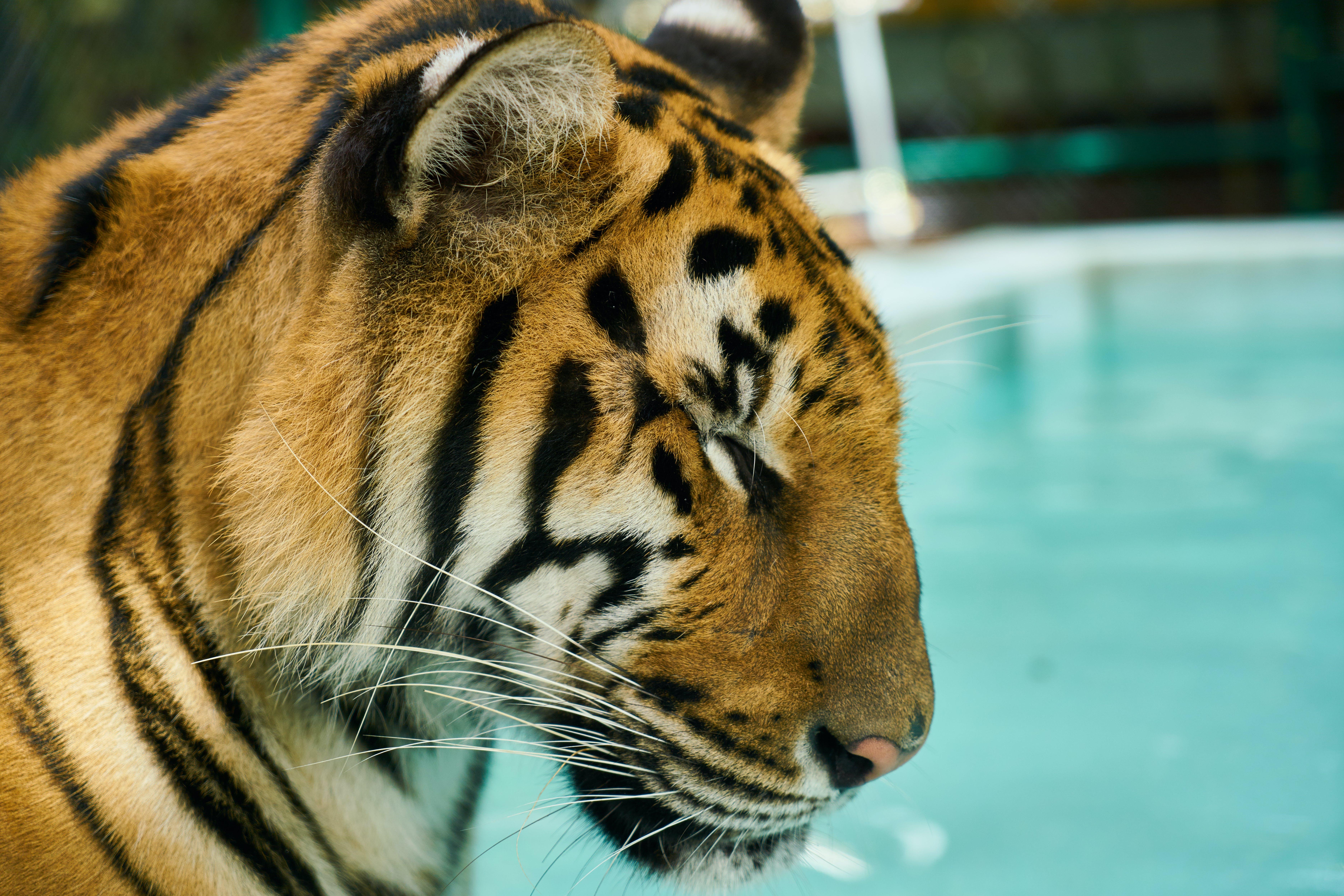 Shallow Focus Photo of Tiger