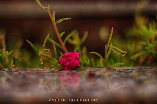 Kostenloses Stock Foto zu reflektierung, rose, schöne blumen, wallpaper