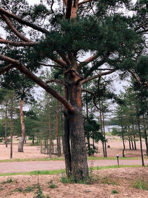 Ilmainen kuvapankkikuva tunnisteilla havupuinen, havupuut, ikivihreä, kasvikunta